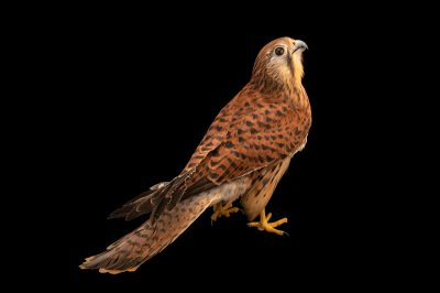 Photo: A Eurasian kestrel (Falco tinnunculus interstinctus) at the Avilon Zoo.