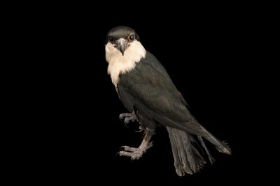 Photo: A Philippine falconet (Microhierax erythrogenys) at the Avilon Zoo.