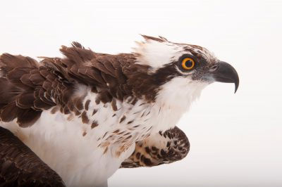 An osprey (Pandion haliaetus carolinensis) at Raptor Recovery Nebraska.