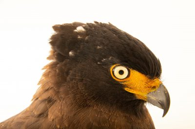 Photo: A Javan crested serpent-eagle (Spilornis cheela bido) at Taman Mini Indonesia Indah.