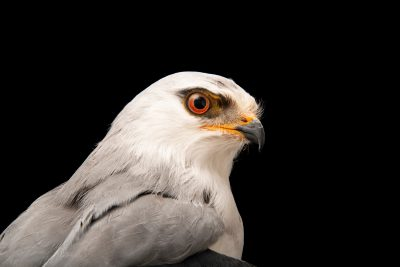 A black-winged kite (Elanus caeruleus caeruleus) at Parque Biologico.