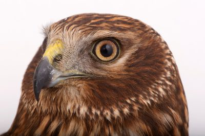 Photo: A Northern harrier (Circus cyaneus) at Raptor Recovery Nebraska.