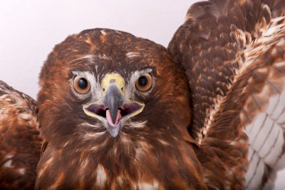 Photo: A rufous (red) phase red-tailed hawk (Buteo jamaicensis) at Raptor Recovery Nebraska.