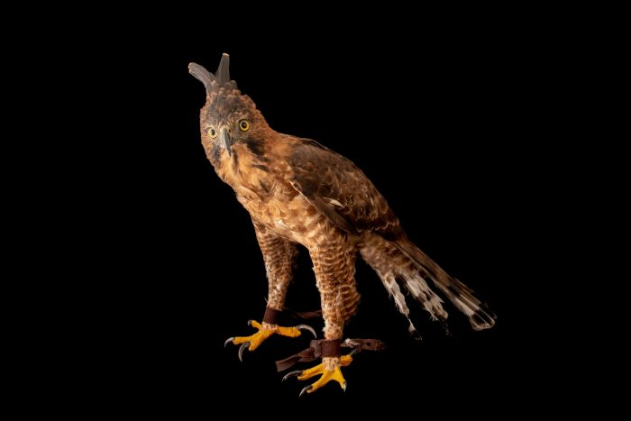 Photo: An endangered Javan hawk-eagle (Nisaetus bartelsi) at Bali Bird Park in Indonesia.