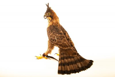 Photo: An endangered Javan hawk-eagle (Nisaetus bartelsi) at Bali Bird Park in Indonesia.