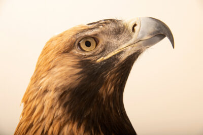Photo: An eastern imperial eagle (Aquila heliaca) at Tierpark Berlin.