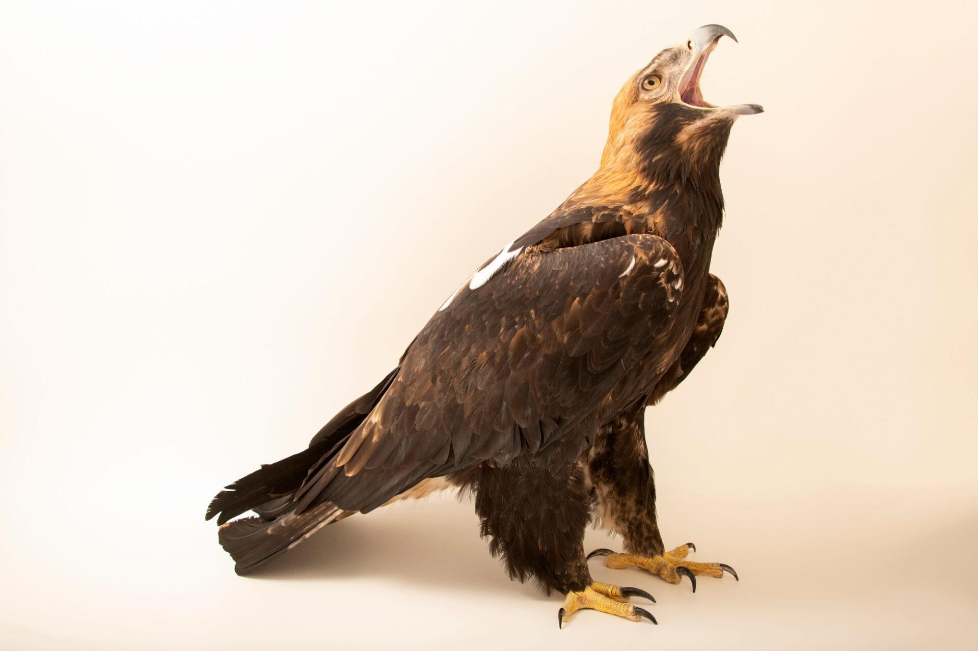 Photo: An Eastern imperial eagle (Aquila heliaca) at Tierpark Berlin.