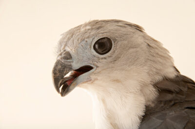 Photo: A grey-headed kite (Leptodon cayanensis monachus) at BioParque do Rio.