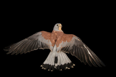 Photo: A male lesser kestrel (Falco naumanni) at the Prague Zoo.