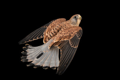 Photo: A female lesser kestrel (Falco naumanni) at the Prague Zoo.