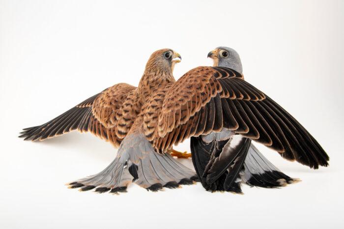 Photo: A male and a female lesser kestrel (Falco naumanni) at the Prague Zoo.
