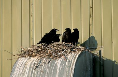 Photo: Juvenile ravens sit in a nest in an Alaskan oilfield.