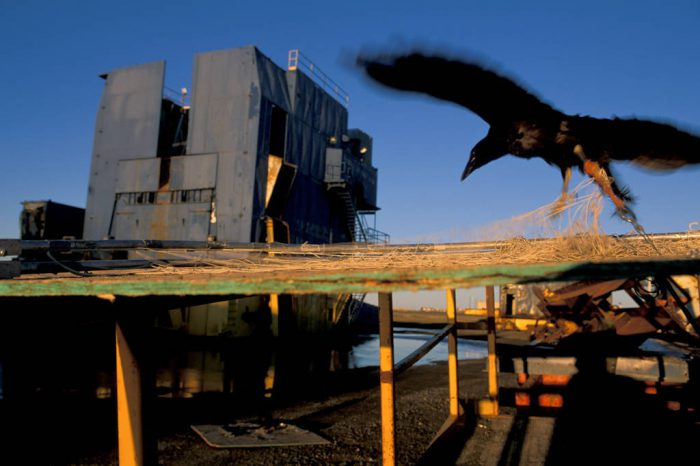 Photo: A juvenile raven caught by biologists tries to fly away.