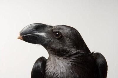 Photo: A collared raven (Corvus albicollis) at Reptile Gardens.