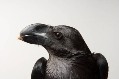 Photo: A collared raven (Corvus albicollis) at Reptile Gardens.