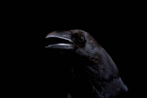 A Chihuahuan raven (Corvus cryptoleucus) at The Wildlife Center in Espanola, NM.