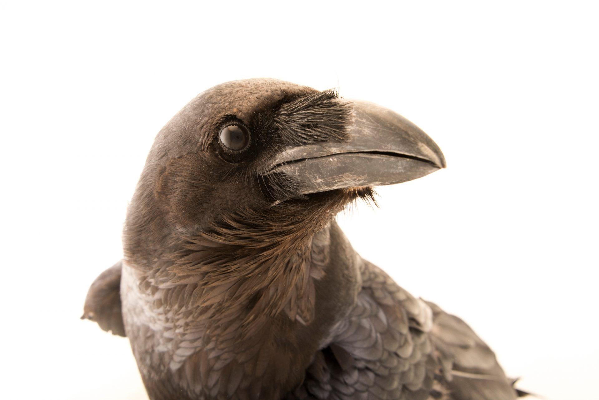 Photo: Common raven (Corvus corax corax) at Lisbon Zoo.
