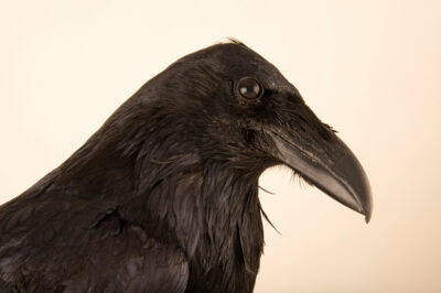 Photo: A common raven (Corvus corax sinuatus) at the Wildlife Rehab Center of Minnesota (WRCMN). This bird had broken its wing and was wearing a splint to help it heal.