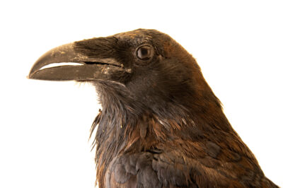 Photo: A common raven (Corvus corax clarionensis) at the Big Bear Alpine Zoo. This bird's name is Gump.