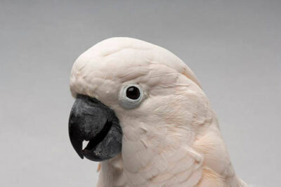 Photo: A salmon-crested cockatoo at the Sedgwick County Zoo.