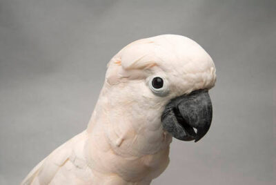 A vulnerable salmon-crested cockatoo,(Cacatua moluccensis), at the Sedgwick County Zoo.