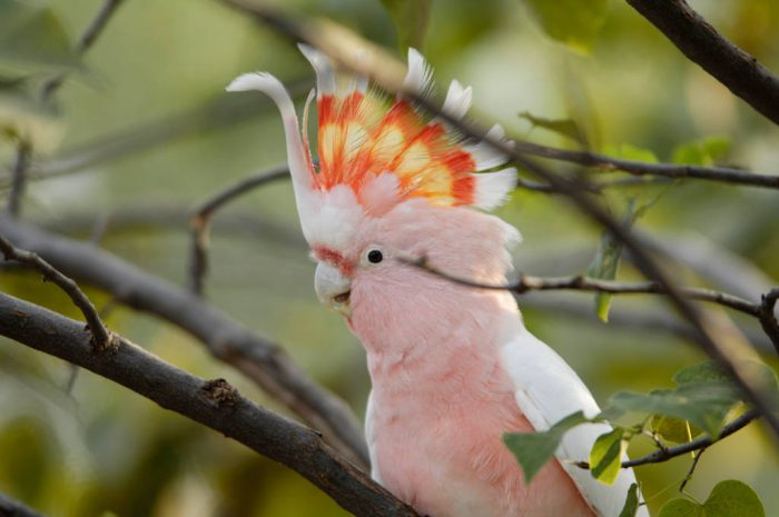 Photo: A pink cockatoo (Cocatua ledbeateri), also known as a Leadbeater's or Major Mitchell's cockatoo, at the Sedwick County Zoo.