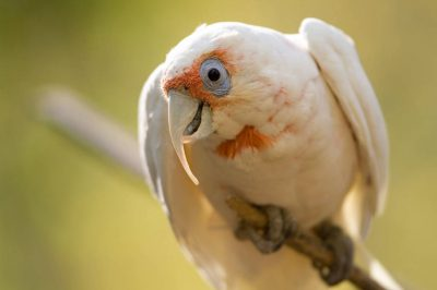 Picture of a long-billed corella (Cacatua tenuirostris) at the Kansas City Zoo.