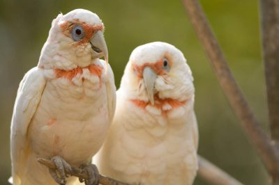 Long-billed corellas (Cacatua tenuirostris) at the Kansas City Zoo.