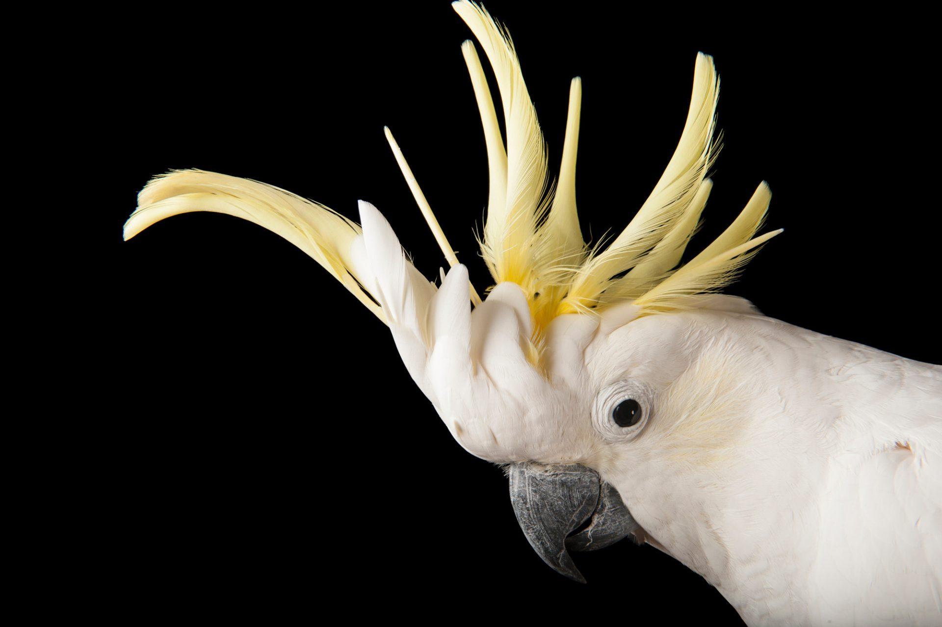 Picture of a sulphur-crested cockatoo (Cacatua galerita).