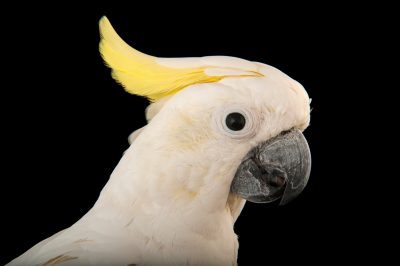 A triton Cockatoo (Cacatua galerita triton) at the Kansas City Zoo.