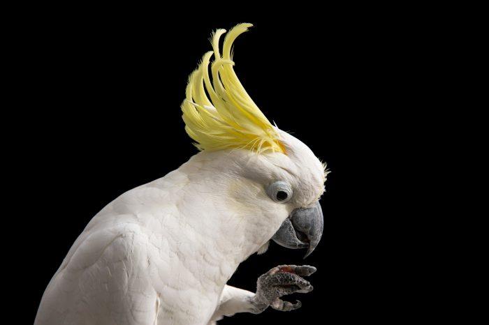Picture of sulphur-crested cockatoo (Cacatua galerita galerita) named peanut at the Minnesota Zoo.
