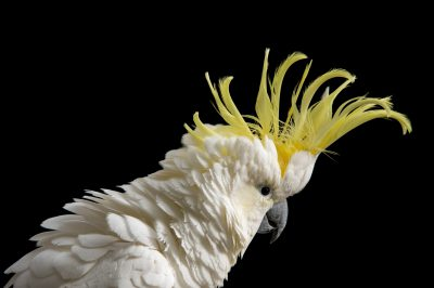 Picture of a sulphur-crested cockatoo (Cacatua galerita galerita) named peanut at the Minnesota Zoo.