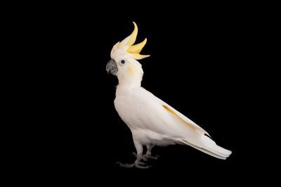 A critically endangered lesser sulphur-crested cockatoo (Cacatua sulphurea sulphurea) from the Gladys Porter Zoo in Brownsville, Texas.