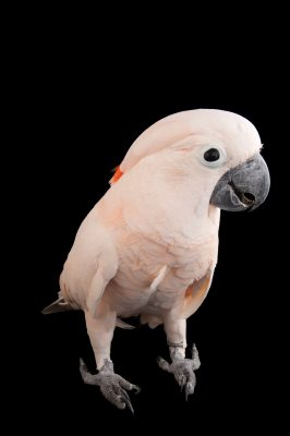 A vulnerable salmon crested or moluccan cockatoo (Cacatua moluccensis) from the Gladys Porter Zoo in Brownsville, Texas.