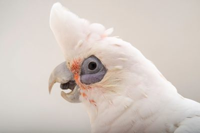 Picture of April, a little corella (Cacatua sanguinea) at Alabama Gulf Coast Zoo.