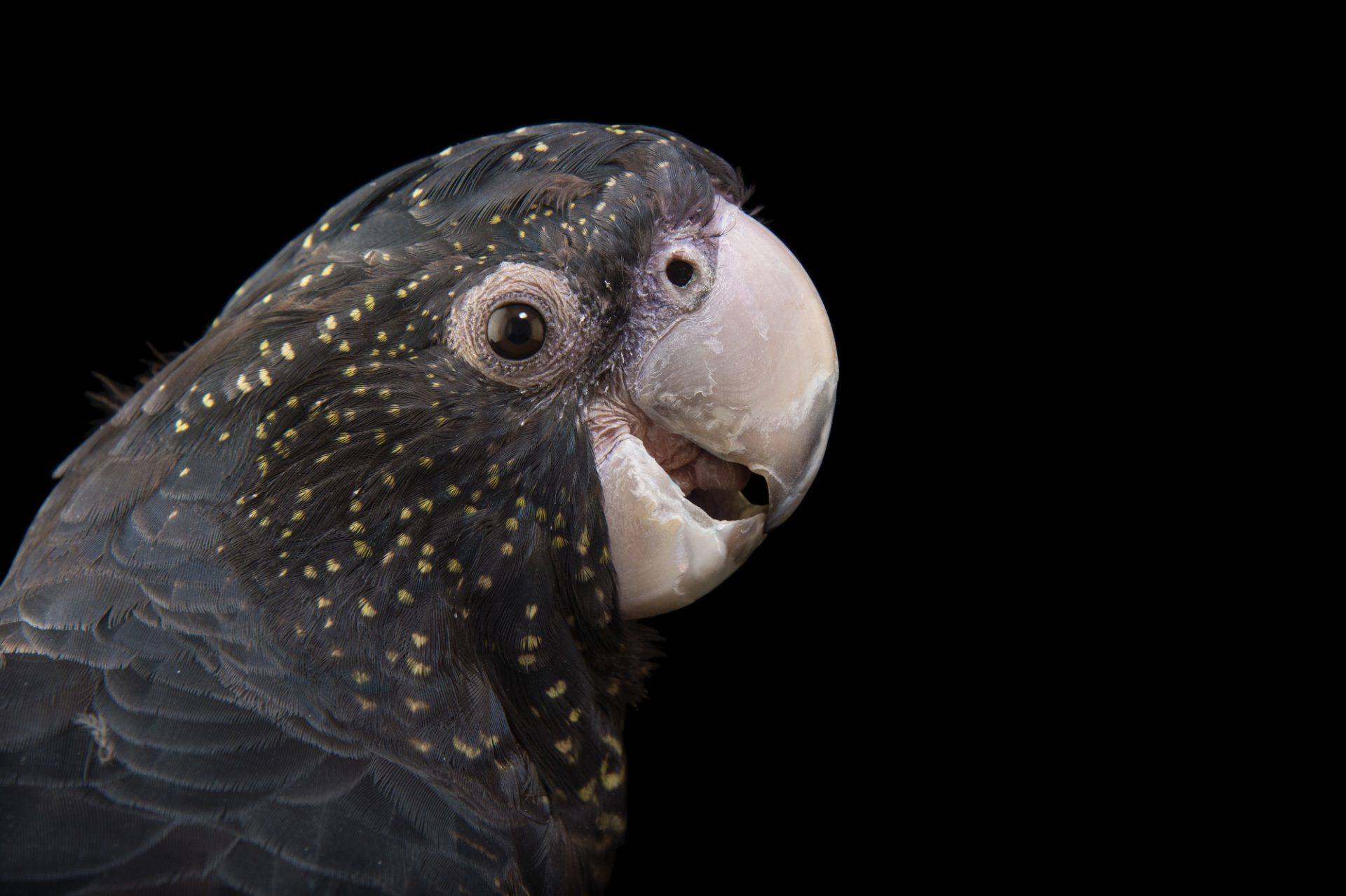 Picture of Matilda, a forest red-tailed black cockatoo (Calyptorhynchus banksii naso) at Tracy Aviary.