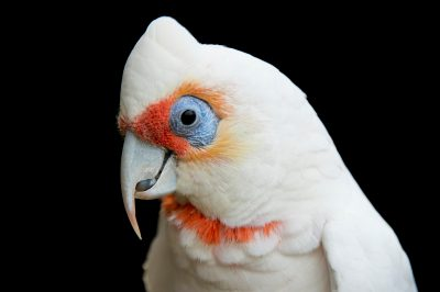 Picture of a long-billed corella (Cacatua tenuirostris) at the Healesville Sanctuary.