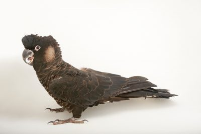 Picture of an endangered white-tailed black cockatoo (Calyptorhynchus baudinii) at the Lowry Park Zoo.