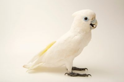 Photo: Solomons corella (Cacatua ducorpsii) at Park Assango, ONG Animal's World in Libreville, Gabon.