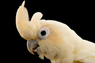 Photo: Philippine cockatoo (Cacatua haematuropygia) at Le Parc des Oiseaux, a bird park in the town of Villars Les Dombes, France.