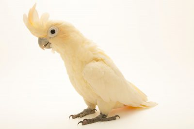 Photo: Philippine cockatoo (Cacatua haematuropygia) from Le Parc des Oiseaux in Villars Les Dombes, France.