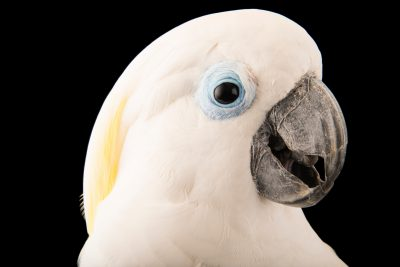 Photo: A blue eyed cockatoo (Cacatua ophthalmica) at the Jurong Bird Park.