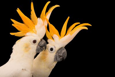 Photo: Critically endangered citron crested cockatoos (Cacatua sulphurea citrinocristata) at Jurong Bird Park.