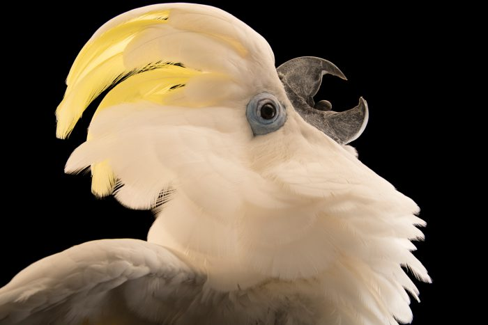 Photo: Blue-eyed cockatoo (Cacatua ophthalmica) at Jurong Bird Park, part of Wildlife Reserves Singapore.