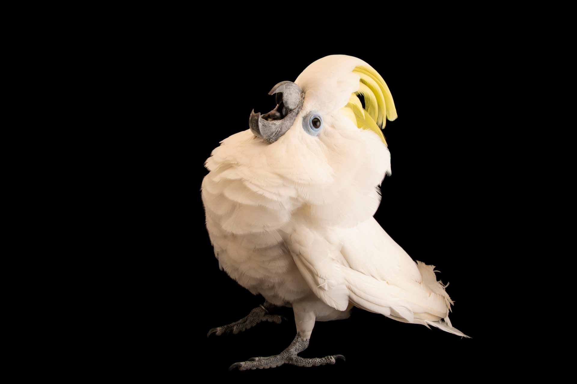 Photo: Blue-eyed cockatoo, Cacatua opthalmica, at Jurong Bird Park, part of Wildlife Reserves Singapore.
