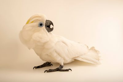 Photo: A blue-eyed cockatoo (Cacatua ophthalmica) at Jurong Bird Park, of Wildlife Reserves Singapore.