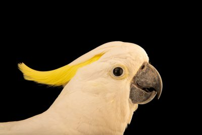 Photo: A critically endangered yellow-crested cockatoo (Cacatua sulphurea parvula) at Ragunan Zoo in Jakarta, Indonesia.