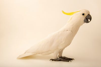 Photo: A yellow-crested cockatoo (Cacatua sulphurea parvula) at Ragunan Zoo in Jakarta, Indonesia.