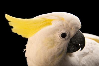 Photo: An Eleonora cockatoo (Cacatua galerita eleonora) at the Kansas City Zoo.