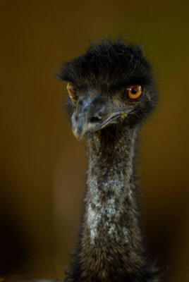 An emu, (Dromaius novaehollandiae), at the Lincoln Children's Zoo.